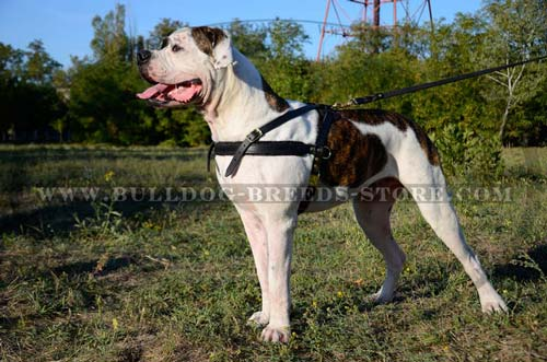 Strong Tracking Leather American Bulldog Harness