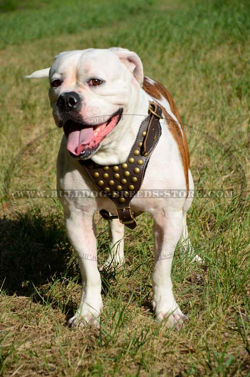 Stylish Hand Studded Leather American Bulldog Harness