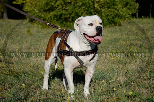 Lightweight Leather Harness for American Bullies