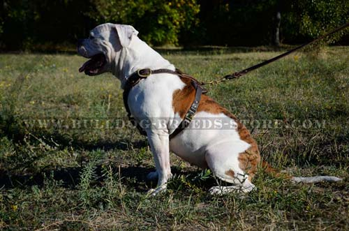 Safe Leather American Bulldog Harness with Wide Straps