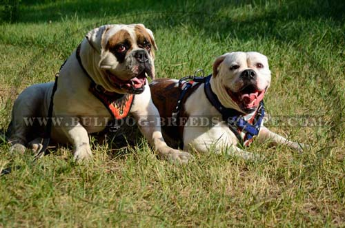 Strong Ajustable Leather Dog Harness for Bulldogs
