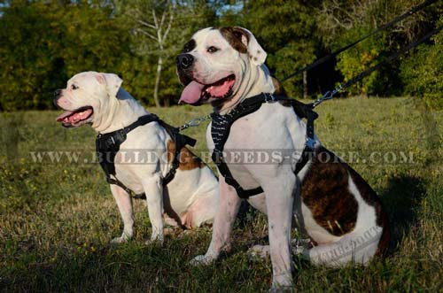 Designer Spiked Leather American Bulldog Harness