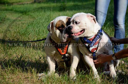 Padded Leather Bulldog Harness for Walking
