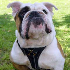 Comfortable Padded Leather Bulldog Harness