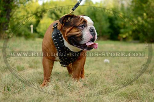Adjustable Studded Leather British Bulldog Harness