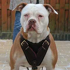 Soft Padded Leather Bulldog Harness