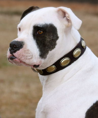 Gorgeous Vintage Brass Dog Leather Collar Alapaha Bulldog- C103