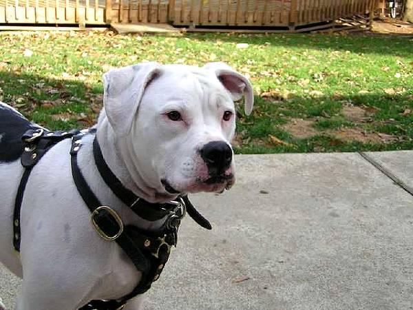 Alapaha Blood Bulldog  Walking dog harness