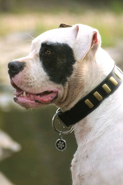 leather dog collar with plates - American Bulldog