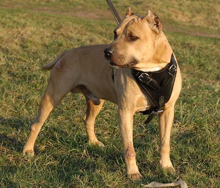 BullyPit Control Dog Harness - H1