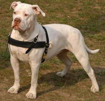 Alapaha Blood Bulldog leather dog harness for tracking,walking