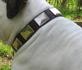 Best Leather Collar With Vintage Massive Plates for Vic. Bulldog