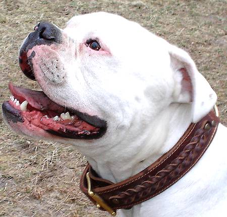 Best leather handmade leather dog collar for AM.Bulldog