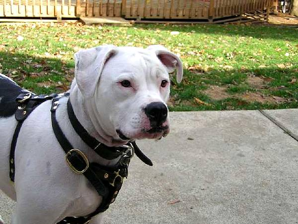 American Bulldog Harnesses for Training