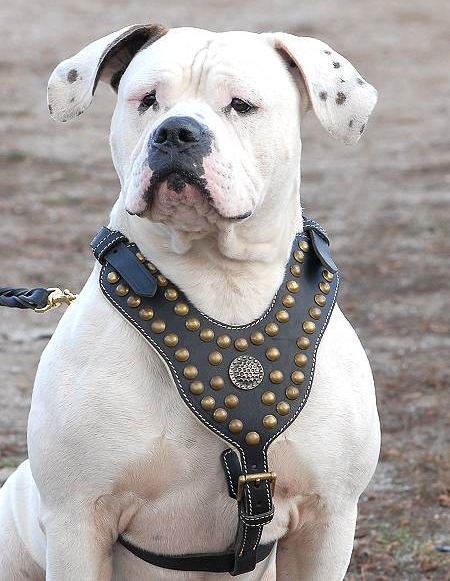 Purchase Studded Leather Dog Harness | Bulldog Gear