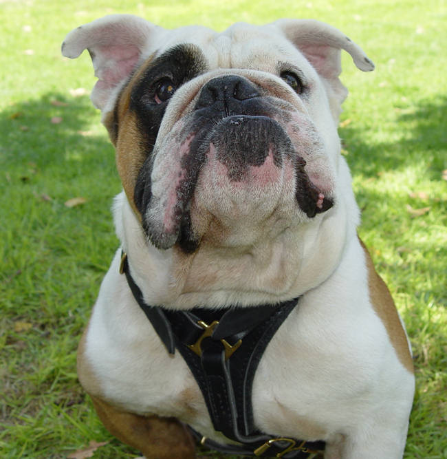British BulldogWalking dog harness