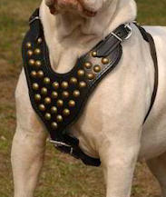 Victorian Bulldog Custom Leather Dog Harness with studds