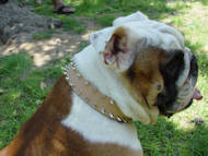 english bulldog spiked dog collar