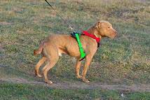 leather-tracking-harness-side-on-dog-sizing-dog
