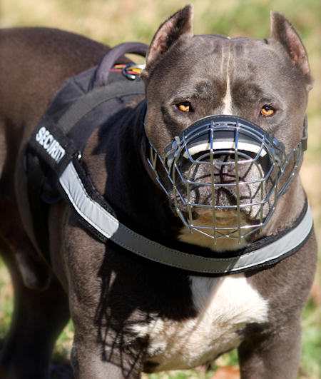 Nylon-harness-pit-bull-American-Pit-Bull-Terrier-Harness