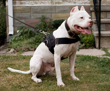 nylon dog harness with handle for Bulldog,amstaffs,bullterriers