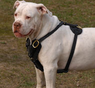 Exclusive Handcrafted Custom Leather Harness for Valley Bulldog