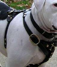 Walking dog harness for Victorian Bulldog